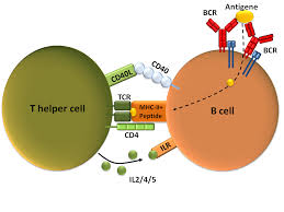 b-cell