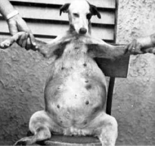 canine cirrhosis